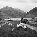 sheep walking away from camera down the middle of the road Doulough mayo ireland by Joe Fox