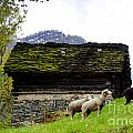 Sheeps And Rustic House by Mats Silvan