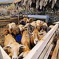 Sheeps Enclosure by Karol Kozlowski
