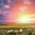 Sheeps In Ireland At Sunset by Mammuth