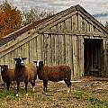 Sheeps  by TouTouke A Y