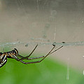 Sheet Web Weaver Spider by Donna Brown