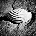 Shell On Sand Black And White Photo by Raimond Klavins