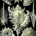 Shellfish Mussels Murex Pecten Prosobranchia Haeckel by Movie Poster Prints