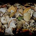 Shells by Ernie Echols