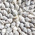 Shells by FL collection