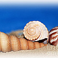 Shells In Sand by Francie Davis