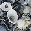 Shells In Shells 2 by Ellen Meakin