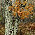 Shenandoah Tree by Lee Kirchhevel