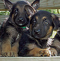 Shepherd Pups 2 by Aimee L Maher Photography and Art Visit ALMGallerydotcom