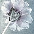 Sheradised Primula by John Edwards