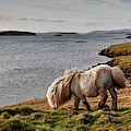 Shetland Pony At Shore  Shetland by John Short