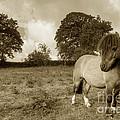 Shetland Pony  by Rob Hawkins