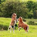 Shetland Pony's by Grant Glendinning