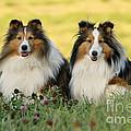 Shetland Sheepdogs by Rolf Kopfle