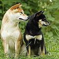 Shiba Inu Dogs by Jean-Michel Labat