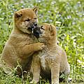 Shiba Inu Puppies by Jean-Michel Labat