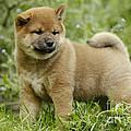 Shiba Inu Puppy Dog by Jean-Michel Labat