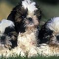 Shih Tzu Puppy Dogs by Jean-Michel Labat