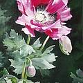 Shining Star Poppy by Suzanne Schaefer