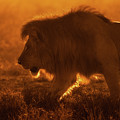Shiny King by Mohammed Alnaser