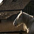 Shire Horse by Angel Ciesniarska