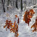 Shivering Oak Leaves by Steve Gravano