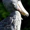 Shoebill Portrait by Christiane Schulze Art And Photography