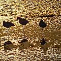 Shore Birds by Howard Stapleton