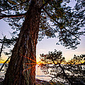 Shore Pine Point by Alexis Birkill