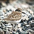 Shorebird Beauty by Cheryl Baxter