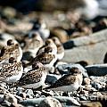 Shorebird Rest Time by Cheryl Baxter