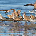 Shorebirds Flocking At Bodega Bay by Kathleen Bishop