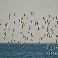 Shorebirds Flying by Anthony Mercieca
