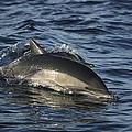 Short-beaked Common Dolphin Sea by Hiroya Minakuchi