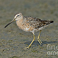 Short-billed Dowitcher by Anthony Mercieca