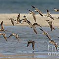 Short-billed Dowitchers Flying by Anthony Mercieca