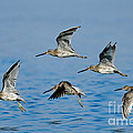 Short-billed Dowitchers In Flight by Anthony Mercieca