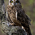 Short-eared Owl Asio Flammenus by Paul Cannon