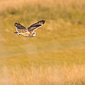 Short Eared Owl by Brian Williamson