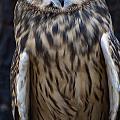 Short Eared Owl by Chris Flees