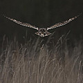 Short Eared Owl Focused by Paul Scoullar