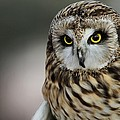 Short Eared Owl Portrait by Dan Sproul