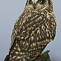 Short Eared Owl by Rob Mclean