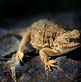 Short Horned Lizard by Nathan Abbott