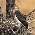 Short-toed Snake Eagle Circaetus Gallicus by Eyal Bartov