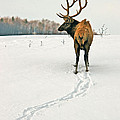 Shortest Distance Elk by Timothy Flanigan