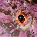 Shorthorn Sculpin Eye by Andrew J Martinez