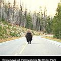 Showdown At Yellowstone by Kathy Sampson