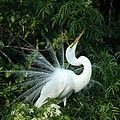 Showy Great White Egret by Sabrina L Ryan